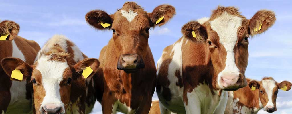 action-johnes-cows-3